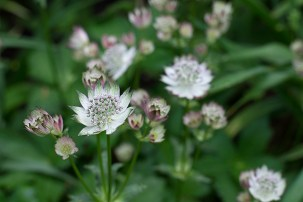 White Astrantia