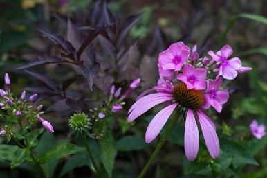 Echinacea 'Ruby Star' & Phlox paniculata