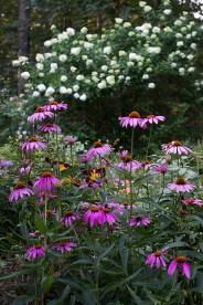 Echinacea and Hydrangea