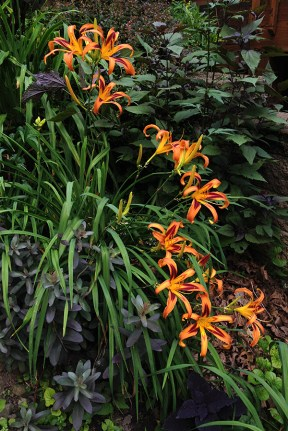 Daylily 'Tiger Eye Spider' lighting up the hillside