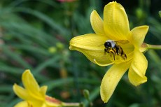 Bee in species daylily
