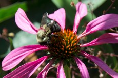 Bee and Echinacea