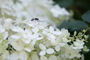 Pollinator on Hydrangea 'Limelght'