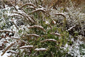 Anise hyssop with snow