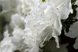 White azalea