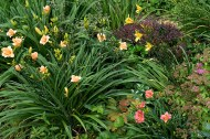 Small flowered daylilies at foot of hill