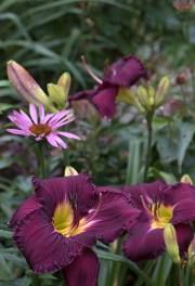 Daylily 'Nosferatu' and Echinacea 'Ruby Star'