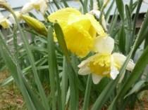 daffodils in rain