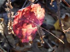 red leaf refraction (600x450)