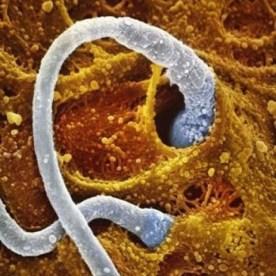 Deux spermatozoides au contact de l'ovule