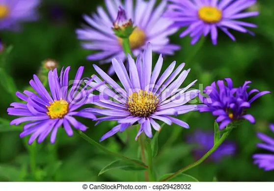 Blue aster flowers  Aster plants are very suitable for the     Blue Aster flowers   csp29428032