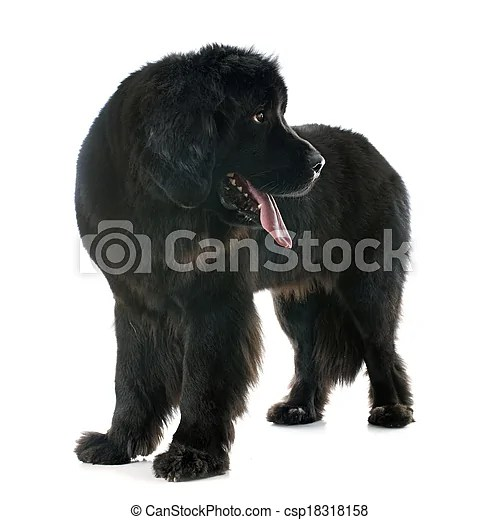 Newfoundland dog in front of white background.
