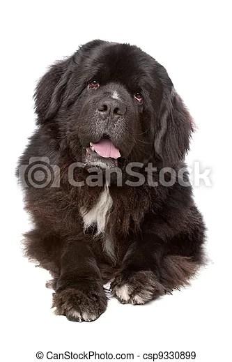Newfoundland (dog) Newfoundland dog in front of a white background.