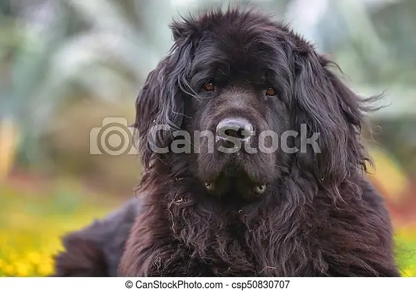 Newfoundland dog.