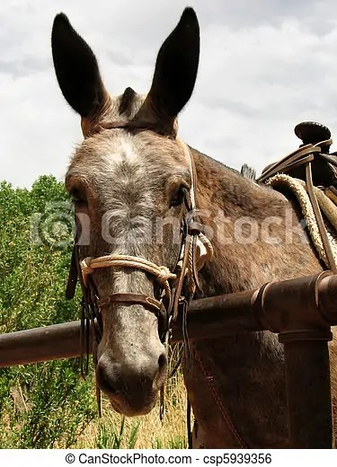 Pack mule head. Head of brown mule hitched up waiting for a rider.