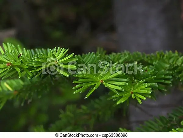 Check out these 10 small trees and learn what will fit best in your yard. Pine Tree Leaves In Beautiful Detail Conifer Trees Shown In Extreme Close Up Canstock