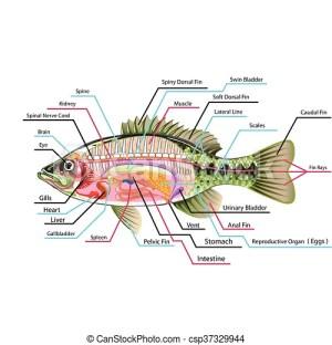 Organe, fische, vektor, kunst, intern Diagramm, kunst