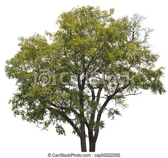 https www canstockphoto fr exotique jeune arbre fond blanc 50222292 html