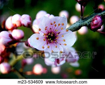Stock Photograph - Decorative spring blossoms open in the evening light, Pennsylvania, USA. Fotosearch - Search Stock Photography, Posters, Pictures, and Photo Clipart Images