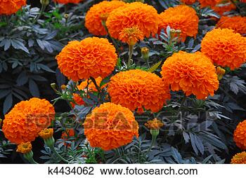 Stock Photo - orange marigold  flower. fotosearch  - search stock  photos, pictures,  wall murals, images,  and photo clipart