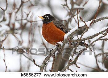 Picture - American Robin (Turdus migratorius). Fotosearch - Search Stock Photography, Photos, Prints, Images, and Photo Clipart