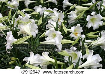 Picture - Easter lilies. Fotosearch - Search Stock Photography, Photos, Prints, Images, and Photo Clipart