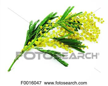 Giving mimosa flowers is Italian tradition