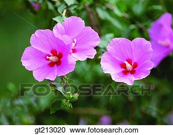 Stock Photography - rose of sharon, rose of Sharon, summer, blossom, flower, outdoor, exterior. Fotosearch - Search Stock Photos, Pictures, Wall Murals, Images, and Photo Clipart