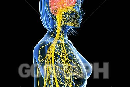 Nervous system brain anatomy path decorations pictures full path human brain anatomy brainstem nervous system brain function png human brain anatomy brainstem nervous system brain function simple diagram of the brain ccuart Images
