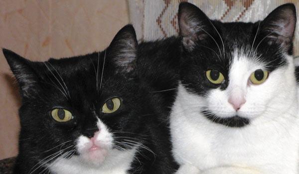 Στην περίπτωση μιας γάτας, που βρίσκεται στα δεξιά, η λάμψη αποδείχθηκε τόσο φωτεινή ώστε η αντανάκλαση από την εστία πέρασε τα όρια του μαθητή και πήρε στην κορυφή της ίριδας. Αυτό το ελάττωμα απομακρύνεται εύκολα με σφραγίδα ή μείωση βούρτσα. Η τελική εικόνα φαίνεται στο ΣΧ. πέντε