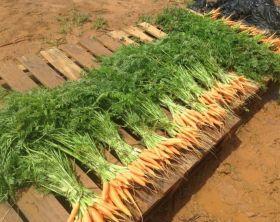 MQL-zanahorias-750x563