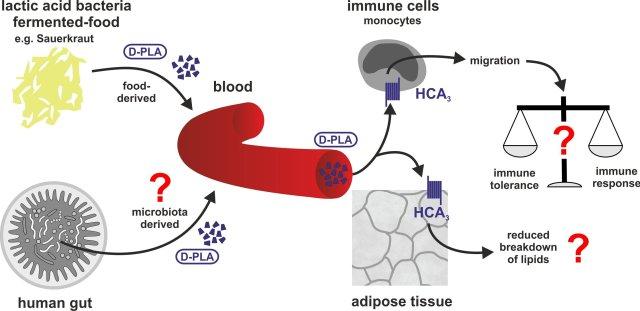Encontramos que el ácido D-feniláctico se absorbe a partir de alimentos fermentados con bacterias del ácido láctico (por ejemplo, Sauerkraut) e induce la migración dependiente de HCA3 en monocitos humanos. Los estudios futuros deben abordar cómo la activación de HCA3 por los metabolitos derivados de bacterias del ácido láctico modula la función inmune y el almacenamiento de energía. Crédito: Claudia Stäubert