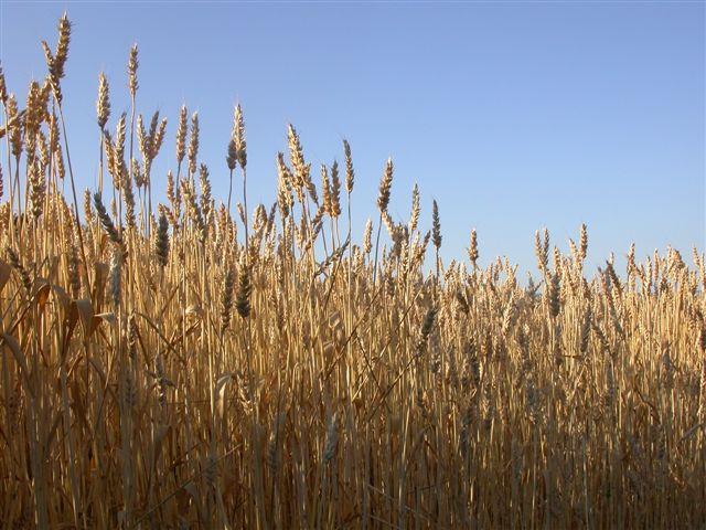 il grano è del Formicoso _a.verderosa 2008