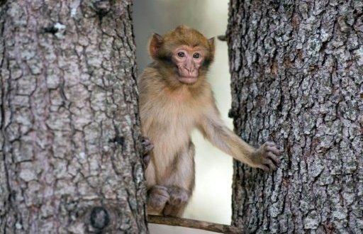 Un singe magot ou macaque de Barbarie, dans une forêt près d'Azrou