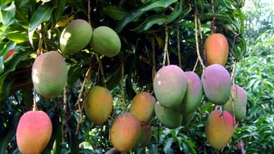 La mangue de Guinée