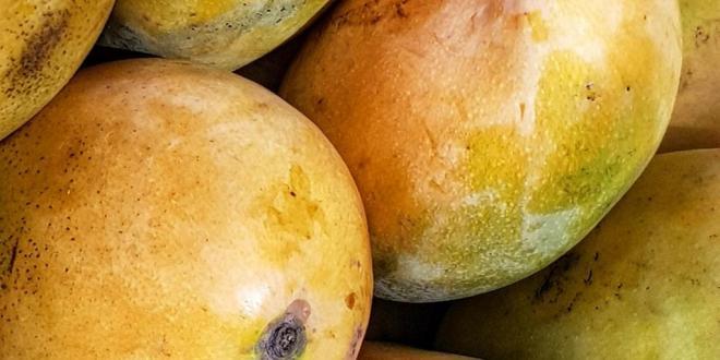 mangue de Guinée