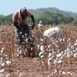 En el sur del Cesar podrían sembrar 1.500 hectáreas de algodón