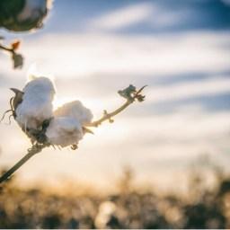Colombia: Sector de algodón nacional se afecta por guerra comercial