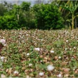 Minagricultura destinará $3.250 millones para el sector del algodón