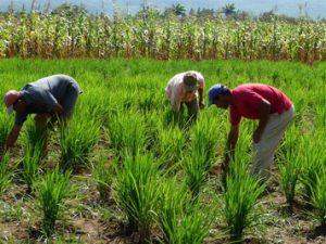 siembra-arroz