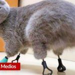 Esta gata pudo ponerse de pie gracias a unas geniales prótesis de titanio 2 - Esta gata pudo ponerse de pie gracias a unas geniales prótesis de titanio - #Noticias