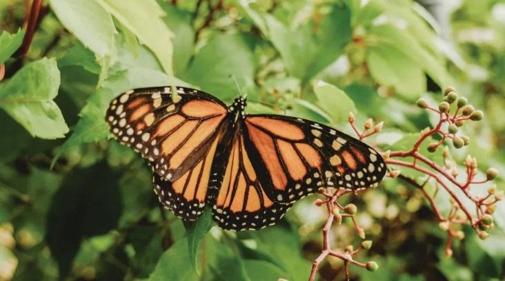 mariposa monarca - Presencia de la mariposa monarca en bosques mexicanos se redujo más de la mitad