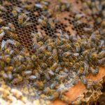 miel abejas unam 02 1024x682 - miel mexicana ya cuenta con control de calidad