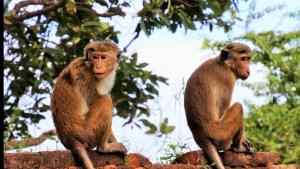 nuevo proyecto 1 9.jpgfit990557ssl1 - En la India un grupo de monos roban muestras de la Covid-19