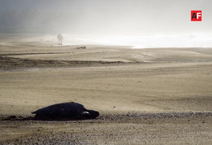 tortuga mar 1 - Invitan a participar en conferencia virtual sobre las tortugas marinas
