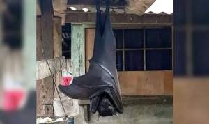 La verdad sobre la foto del murciélago de tamaño humano que circula en redes - La verdad sobre la foto del murciélago 'de tamaño humano'