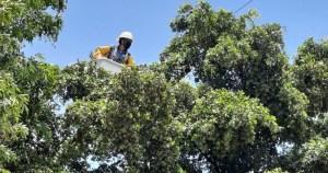 cfe da mantenimiento a la red electrica en choix crop1594328178941.jpg 673822677 - CFE da mantenimiento a la red eléctrica en Choix