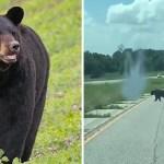 fondo oso bruno - Oso ha cruzado Estados Unidos en busca de su pareja. Bruno está dispuesto a todo en nombre del amor