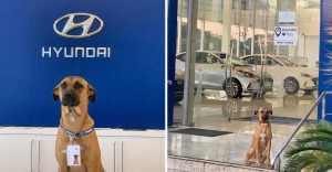 perrito es adoptado por empresa de automoviles 4 - Una concessionaria di automobili assume un cagnolino che si aggirava per la zona. È il nuovo guardiano del luogo