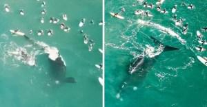 surfistas nadan junto a curiosas ballenas - Surfistas fueron sorprendidos por inesperada visita de ballena junto a su cría y nadaron con ellas